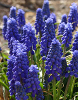 There were huge arrays of Grape Hyacinth this year